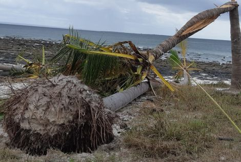 Uprooted tree on Matemo Island, Cabo Delgado province after passage of Cyclone Kenneth